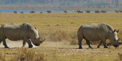 Le Rhinocéros : «Nos pas résonnent sur la Terre…»