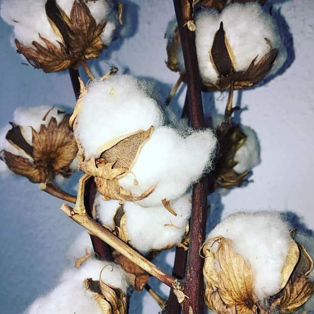coton fjane